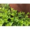 Kräuterschnecke als Gartendeko zum Bepflanzen Pflanzhalter Kräutergefäß mit Minze